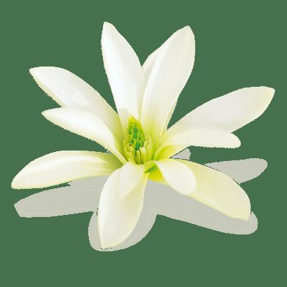 Extrait de magnolia